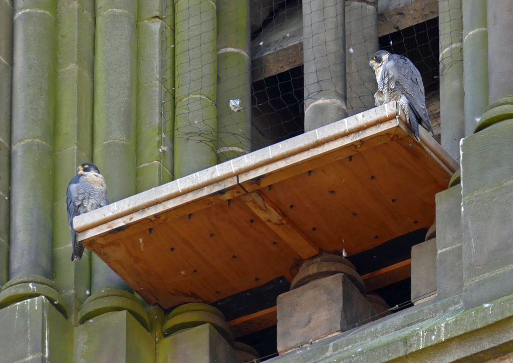 Leicester Peregrine adults on Platform