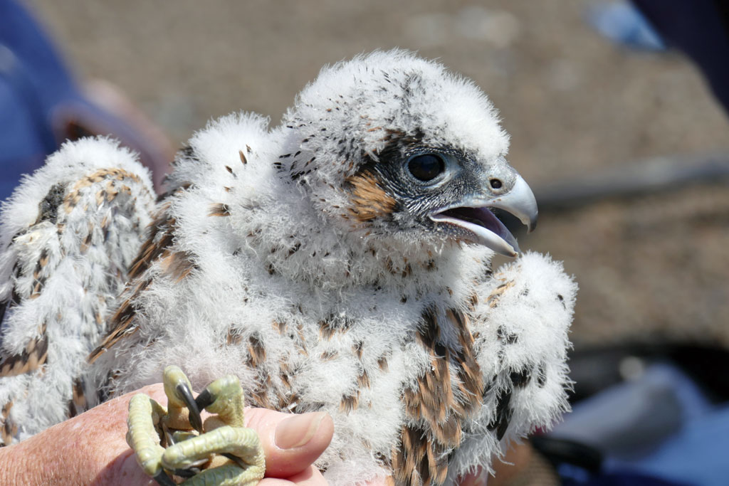 Monitoring Leicester Peregrine 2016 Juvenile XF with colour ring