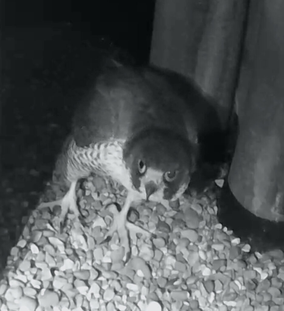 This image has an empty alt attribute; its file name is 18-Feb-2021-Un-ringed-Female-934x1024.jpg